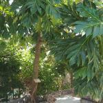 staffeli tree - soursop tree