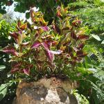 kitenge plant