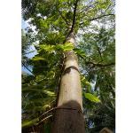 coton tree